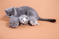 Cat mother watching her babies Royalty Free Stock Photo