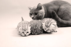 Cat mother watching her babies Stock Image