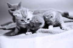 Cat mother watching her babies Royalty Free Stock Image