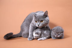 Cat mother watching her babies Stock Photography