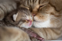 Cat mother and young kitten sleeping cheek to cheek together. Cat mother and baby kitten sleeping cheek to cheek together Royalty Free Stock Photography