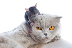 Cat and mouse. Together isolated on a white background Royalty Free Stock Photography