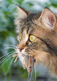 Cat and mouse. Cute cat with gray mouse. Close-up, outdoor Royalty Free Stock Photo