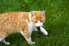 Cat with mouse. Cat playing with mouse in the garden Royalty Free Stock Images