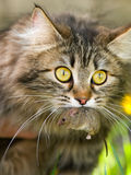 Cat and mouse. Cute cat with gray mouse. Close-up, outdoor Stock Photos