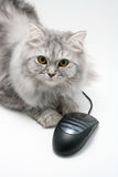 Cat and Mouse. Grey Cat and computer mouse Royalty Free Stock Images