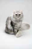 Cat and Mouse. Grey cat and mouse toy Isolated in White Background Stock Image