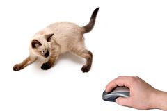 Cat and Mouse. Baby siamese kitten, on a funny pose, playing and looking to computer mouse on hand Royalty Free Stock Image