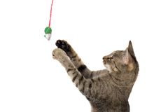 Cat And Mouse. Domestic cat reaching up to play with a fake mouse on a string. Isolated on white background royalty free stock photo