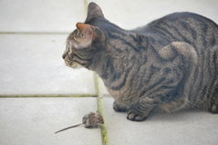 Cat and mouse. This cat catched a mouse, but before eating it,the two are both resting Royalty Free Stock Photography