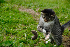 Cat and mouse. Playing predator royalty free stock photo