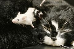 Cat and Mouse. A mouse crawling over a sleeping cat Stock Photography