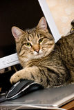 A cat with a mouse. A cat with a computer mouse Royalty Free Stock Photos