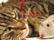 Cat & Mouse. Portrait of tabby cat with toy mouse Stock Photo