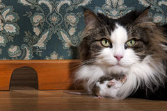 Cat and mouse. In a luxury old-fashioned roon Stock Photography