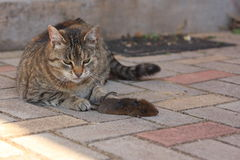 Cat and Mouse. Adult tabby house cat and mouse caught dead Stock Photography