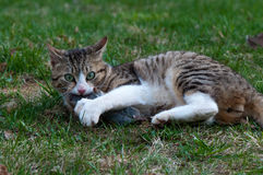 Cat and mouse. Cat caught a field vole (Microtus agrestis Royalty Free Stock Image