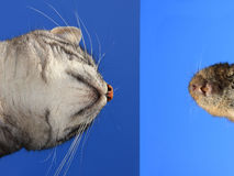Cat and mouse face to face Royalty Free Stock Image