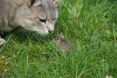 Cat and mouse Royalty Free Stock Image