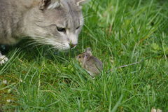Cat and mouse. A game between cat and mouse about half an hour Stock Photos