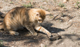 Cat and mouse in garden. Cat catching mouse Royalty Free Stock Images