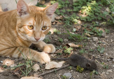Cat and mouse in garden. Cat catching mouse Stock Image