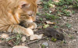 Cat and mouse in garden. Cat catching mouse Royalty Free Stock Photo