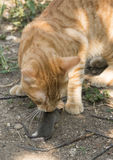 Cat and mouse in garden. Cat catching mouse Stock Photography