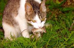 Cat and mouse. Cat has the grey mouse in mouth royalty free stock photography