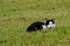 Cat on mouse hunt Royalty Free Stock Photography