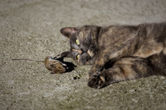 Cat and mouse II. A cat looks at its prey, a dead mouse Royalty Free Stock Photography