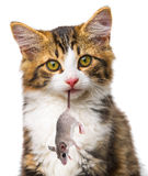 Cat with mouse Royalty Free Stock Photos