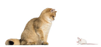 Cat and mouse. Cat looking down at a mouse stock image