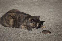 Cat and mouse. A cat looks at its prey, a mouse Royalty Free Stock Photography