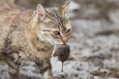 Cat with mouse in mouth. Tabby cat with dangerous look holding prey in teeth Royalty Free Stock Photography