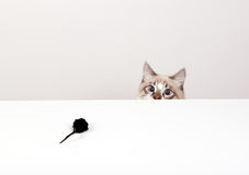 Cat and mouse Stock Image