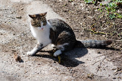 Cat and mouse. Young cat playing with a mouse outside of a farm Royalty Free Stock Photo