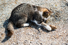 Cat and mouse. Young cat playing with a mouse outside of a farm Stock Image