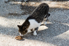 Cat and mouse. Young cat playing with a mouse outside of a farm Stock Photo
