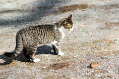 Cat and mouse. Young cat playing with a mouse outside of a farm Royalty Free Stock Images