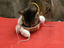 Cat and mouses are eating together. From a can royalty free stock images