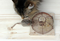 Cat or the mousetrap. Who is the better mouse catcher, the cat or the mousetrap Stock Image