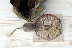 Cat or the mousetrap. Who is the better mouse catcher, the cat or the mousetrap Stock Photo