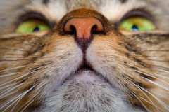 Cat mouth and nose close-up. Cat mouth and pink nose close-up Stock Images
