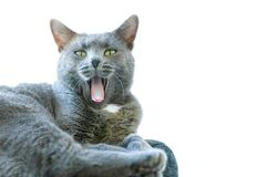 Cat with mouth open. A cute furry gray cat with green eyes has her mouth open with a pink tongue sticking out.  Plenty of text area on the right on an isolated royalty free stock photos