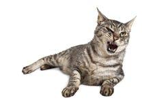 Cat With Mouth Open e denti divertenti fuori Fotografia Stock Libera da Diritti