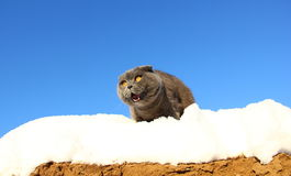 Cat with mouth open in snow Stock Photos