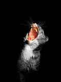 Cat with mouth wide open on black background Royalty Free Stock Image