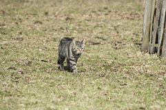 Cat on the move Royalty Free Stock Photo