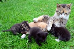 Cat-mum feeding kittens Stock Photography